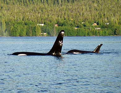 Orca Whales at the dock, Southeast Exposure, Ketchikan Alaska